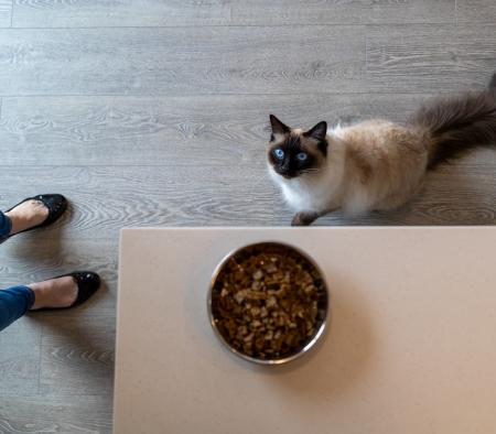cat looking up at food on table