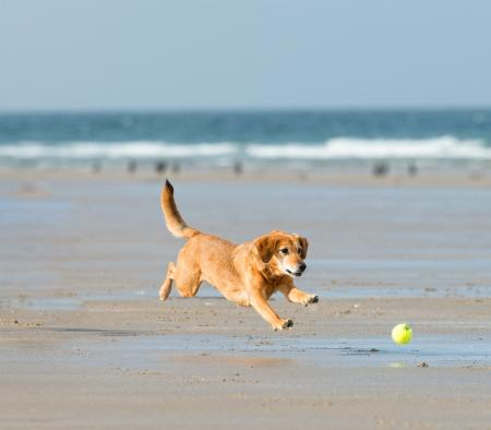dog chasing ball on beach