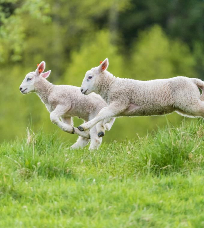 New Zealand Lamb frolicking in the grass