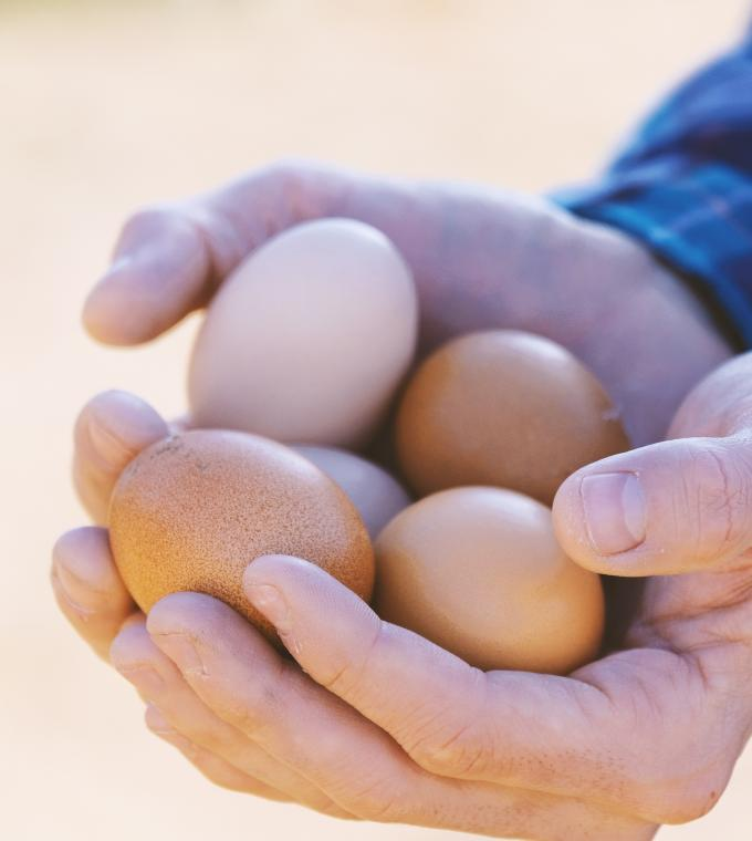 Freshly collected free-range eggs in man's hand